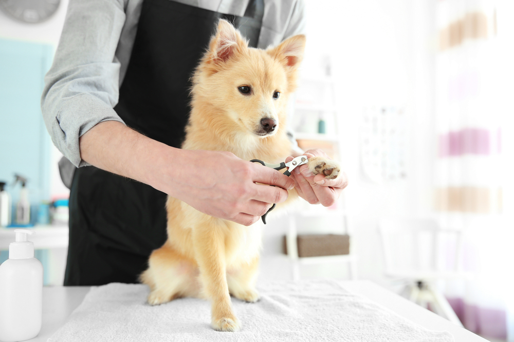 Professional Dog Groomer Trimming Small Dog's Nails on Carpet