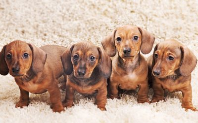 Could Your Carpet Cleaner Be Harming Your Pets?