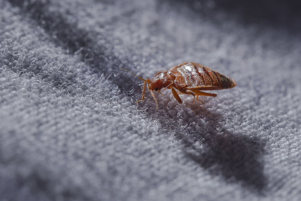 Here are Some of the Nasty Insects That Can Live In Your Carpets